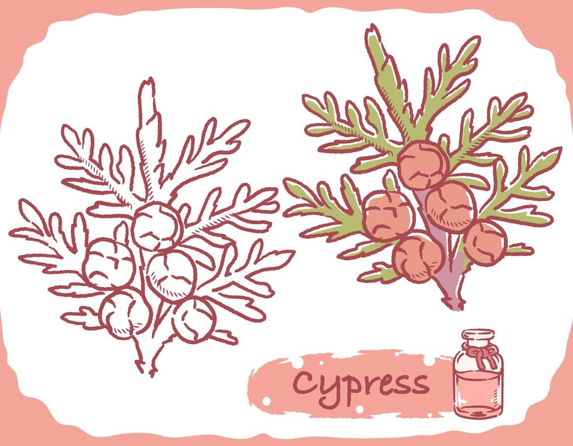 Huile Essentielle De Cyprès Illustration