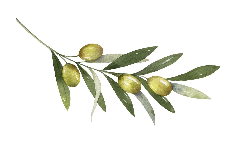 dessin branche d'olivier